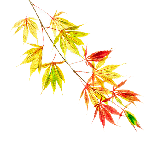 maple branch